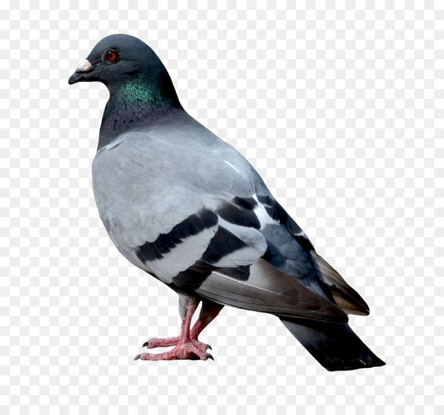 Descarga gratuita de Las Palomas Y Las Palomas, Paloma Nacional, Aves Imágen de Png