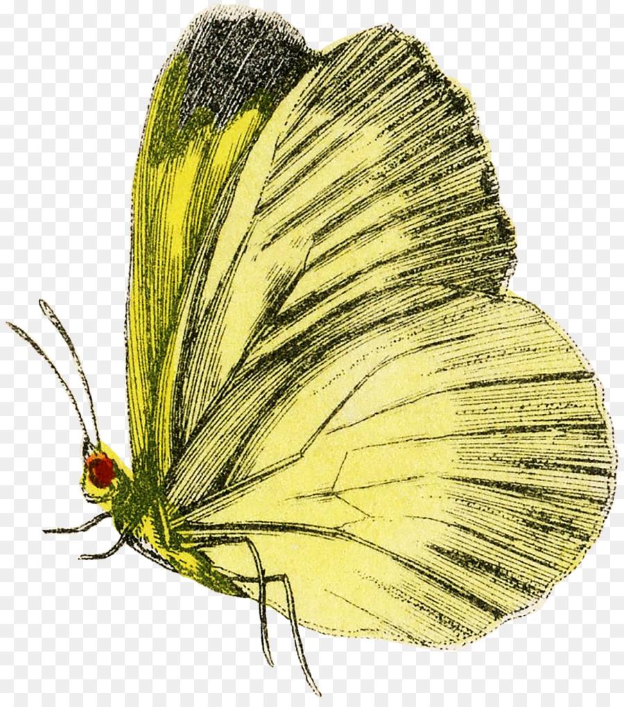 Descarga gratuita de Nublado Amarillos, La Mariposa Monarca, La Polilla imágenes PNG
