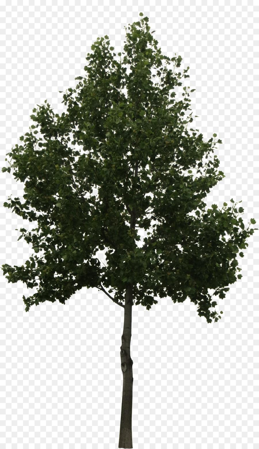 Descarga gratuita de árbol, Roble, árbol De Helecho Imágen de Png