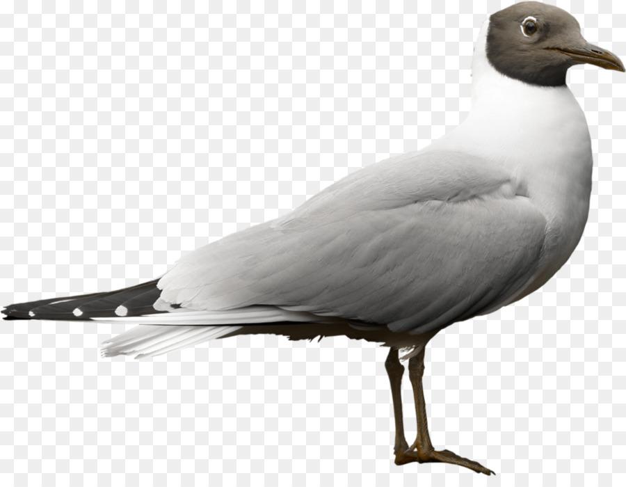 Descarga gratuita de Aves, Las Palomas Y Las Palomas, Paloma Mensajera Imágen de Png