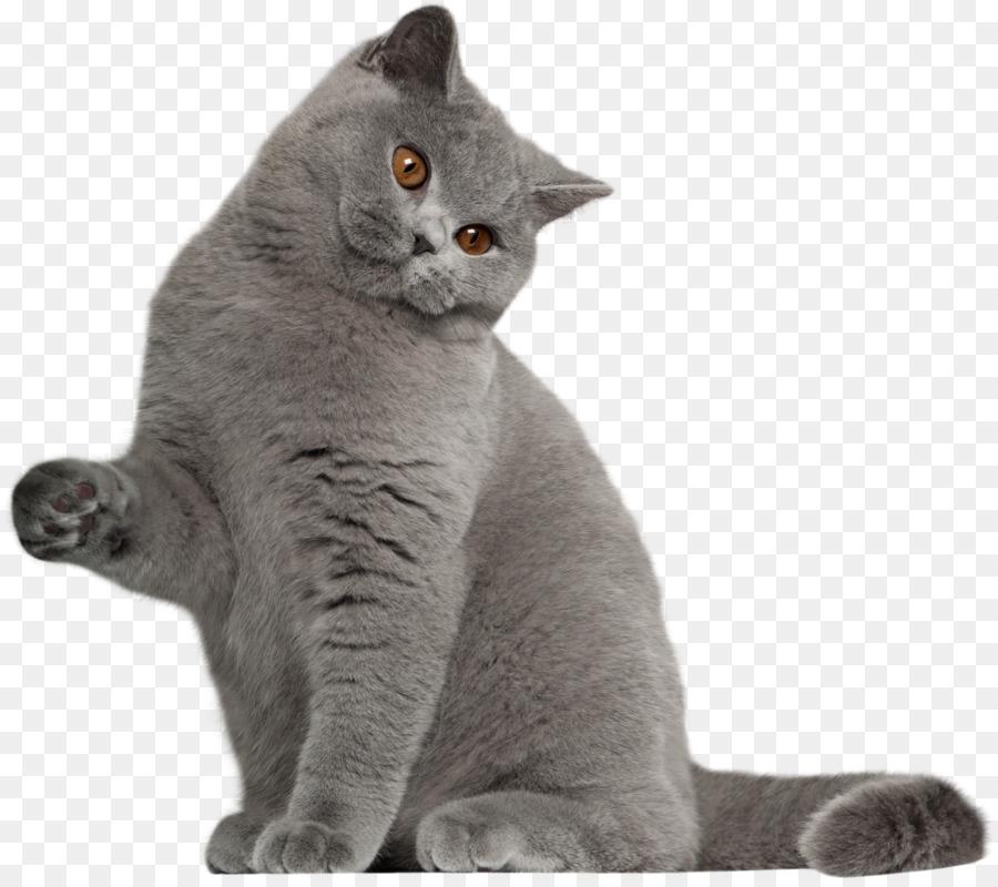 Descarga gratuita de British Shorthair, Gato Persa, Bombay Gato Imágen de Png