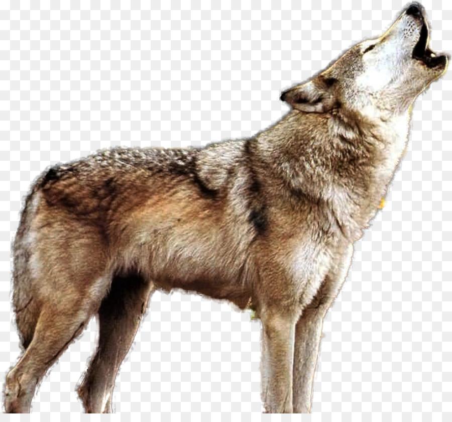 Descarga gratuita de Lobo, Coyote, Paquete De Imágen de Png