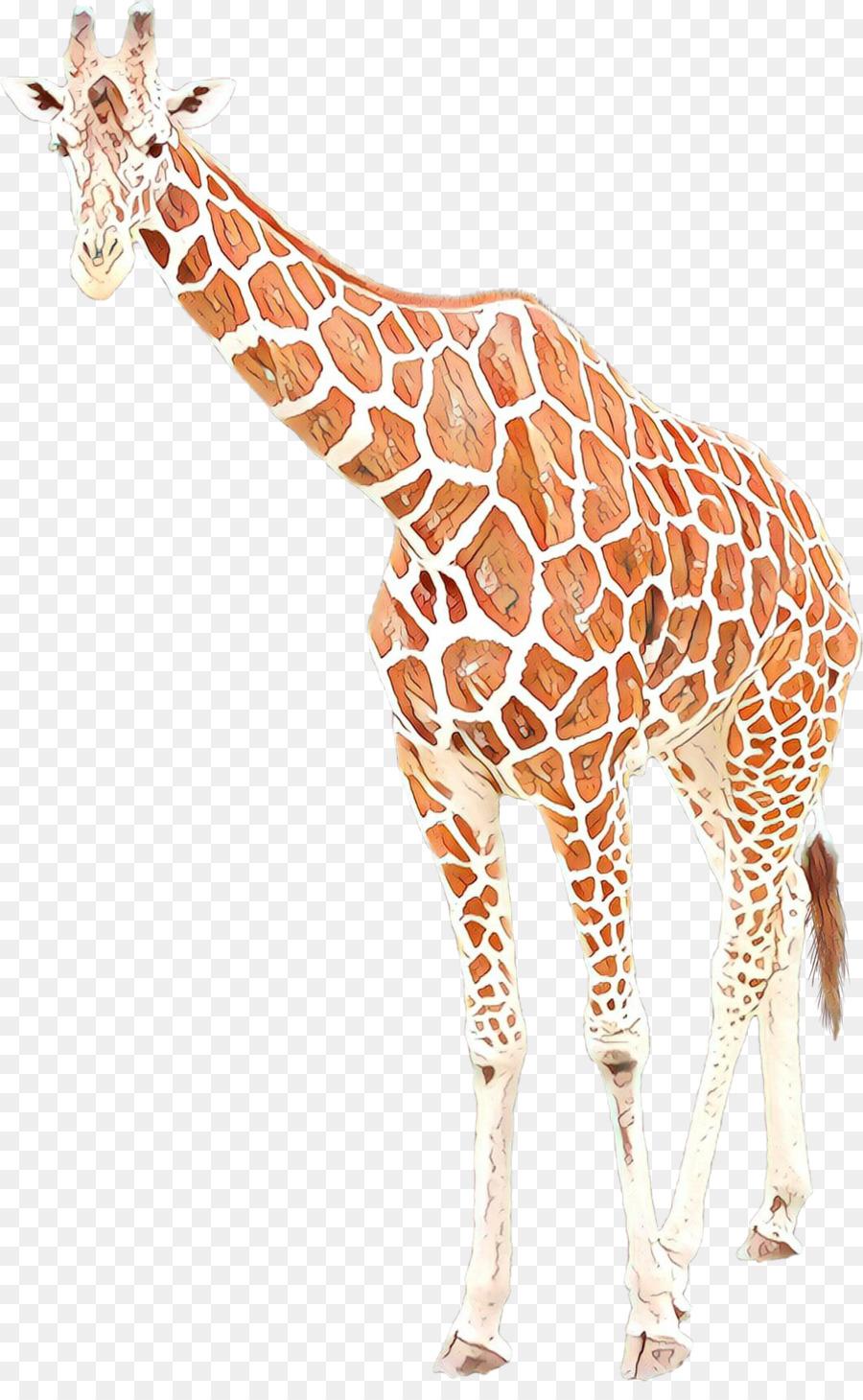 Descarga gratuita de El Norte De La Jirafa, Sudáfrica Jirafa, Animal Imágen de Png