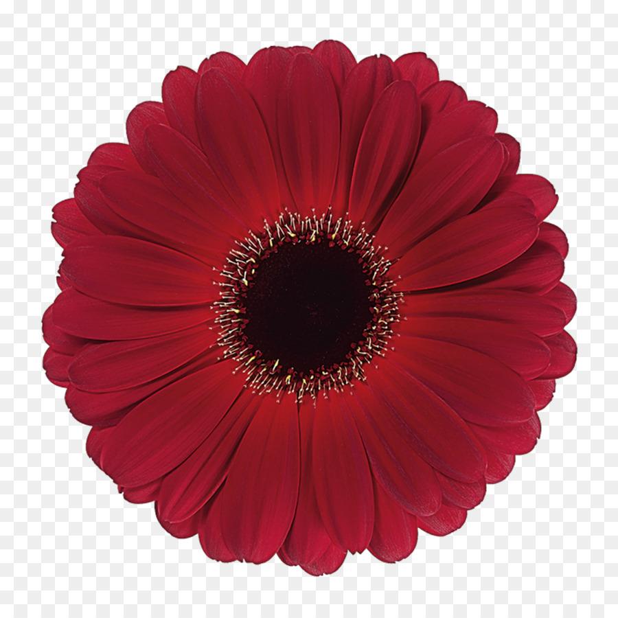 Descarga gratuita de Transvaal Daisy, Flor, Las Flores Cortadas imágenes PNG