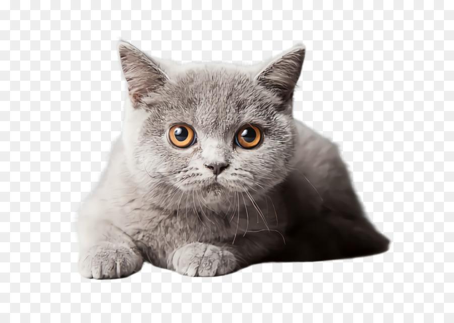 Descarga gratuita de Gato, British Shorthair, Bigotes Imágen de Png
