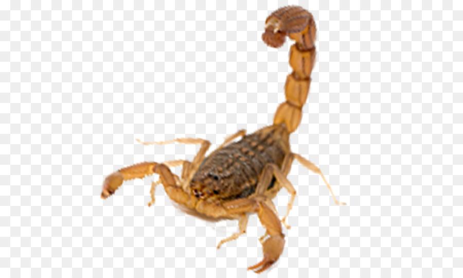 Descarga gratuita de Escorpión, Arácnido, Los Insectos imágenes PNG
