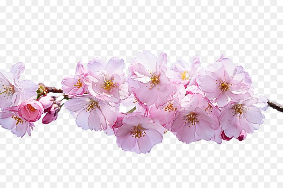 Descarga gratuita de Flor, Planta, De Los Cerezos En Flor imágenes PNG