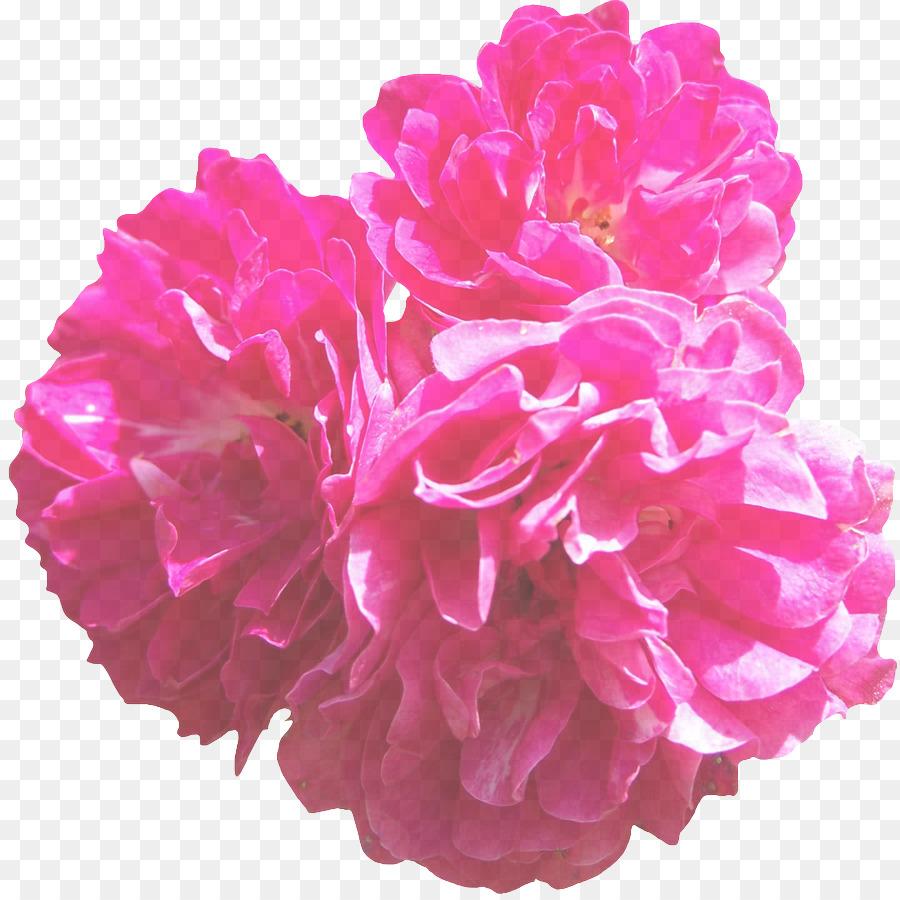 Descarga gratuita de Rosa, Pétalo, Flor Imágen de Png