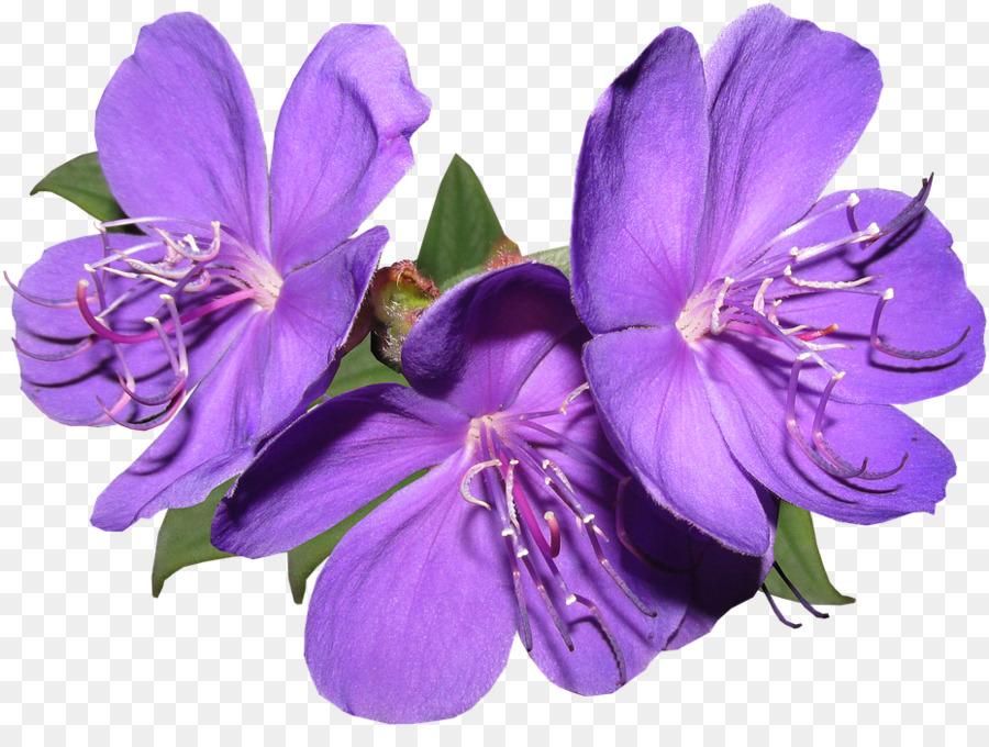 Descarga gratuita de Flor, Violeta, Pétalo Imágen de Png