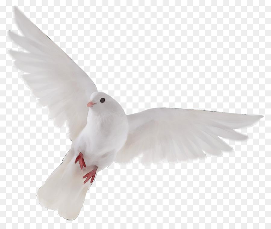 Descarga gratuita de Blanco, Aves, Las Palomas Y Las Palomas Imágen de Png