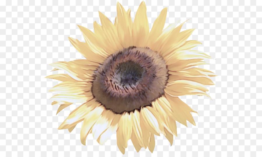 Descarga gratuita de Girasol, Flor, Amarillo imágenes PNG