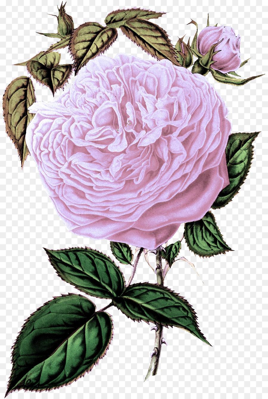 Descarga gratuita de Flor, Las Rosas De Jardín, Rosa imágenes PNG