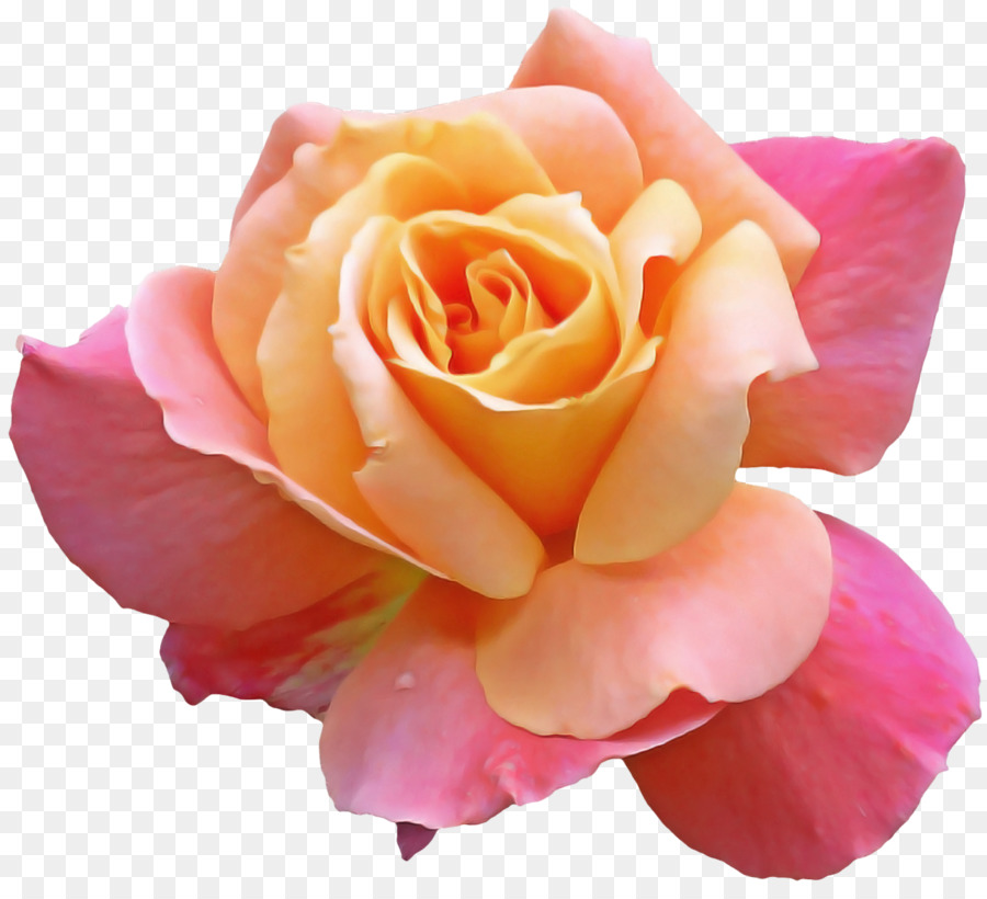 Descarga gratuita de Flor, Las Rosas De Jardín, Pétalo Imágen de Png