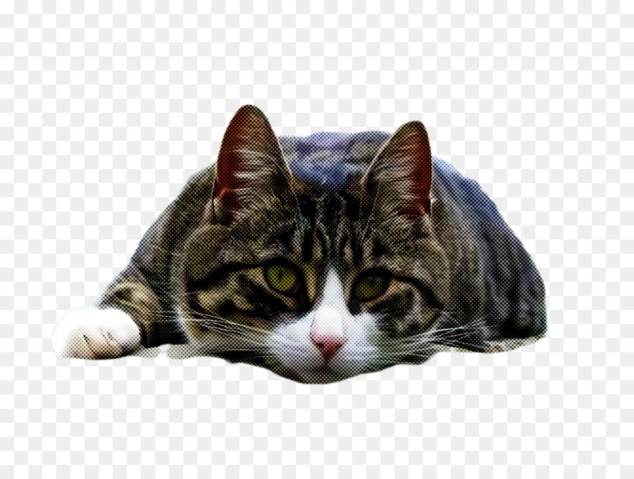 Descarga gratuita de Gato, Bigotes, Europeo De Pelo Corto Imágen de Png