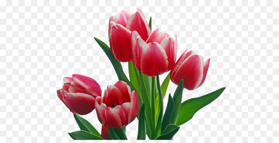 Descarga gratuita de Flor, Pétalo, Tulip Imágen de Png