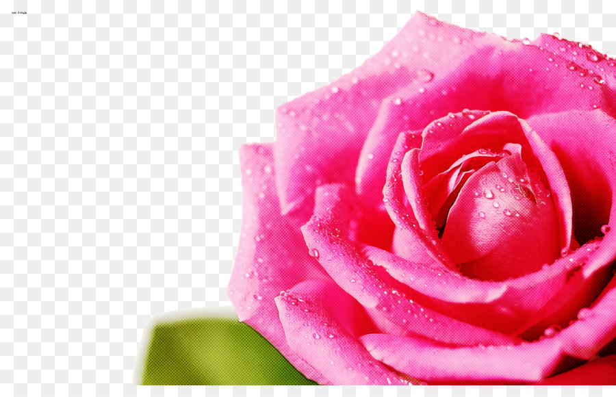 Descarga gratuita de Flor, Rosa, Las Rosas De Jardín Imágen de Png