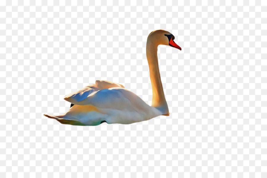 Descarga gratuita de Swan, Aves, El Agua De Las Aves Imágen de Png