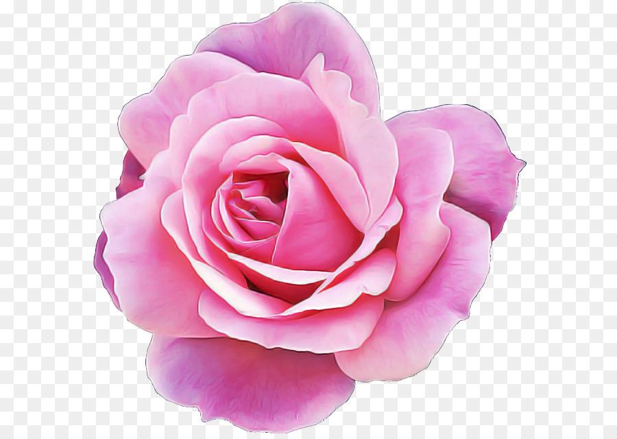 Descarga gratuita de Las Rosas De Jardín, Pétalo, Rosa Imágen de Png