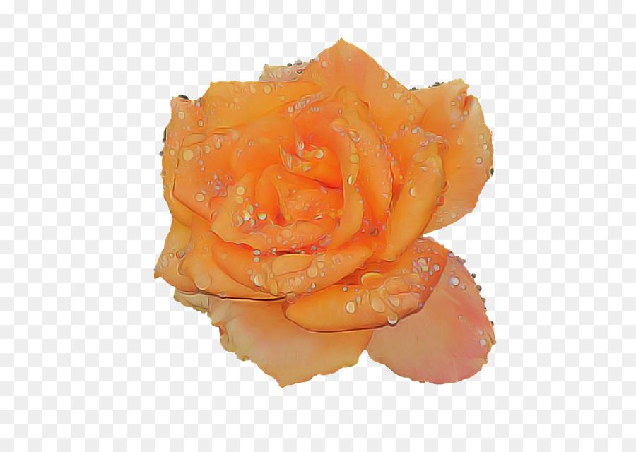 Descarga gratuita de Naranja, Rosa, Las Rosas De Jardín Imágen de Png