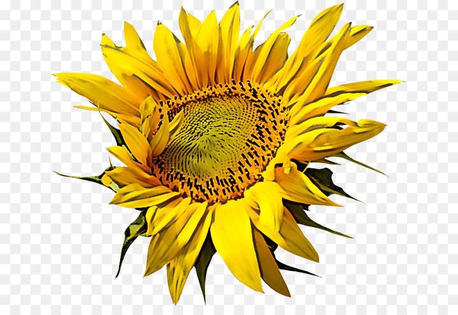 Descarga gratuita de Flor, Girasol, Amarillo Imágen de Png