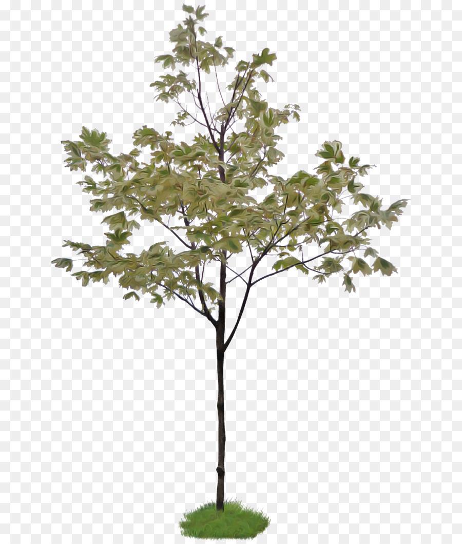 Descarga gratuita de árbol, Planta, Planta Leñosa imágenes PNG