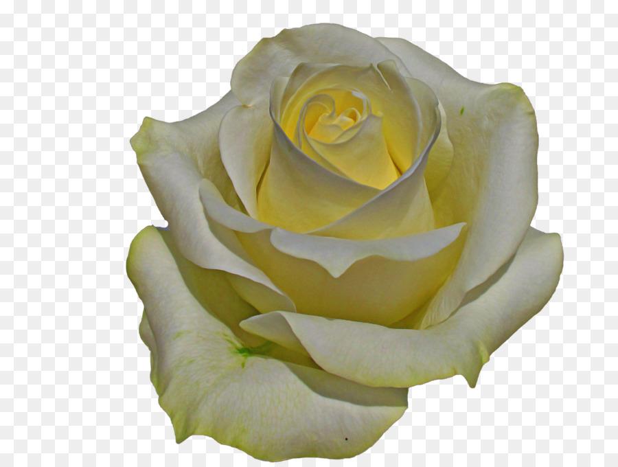 Descarga gratuita de Blanco, Las Rosas De Jardín, Rosa Imágen de Png