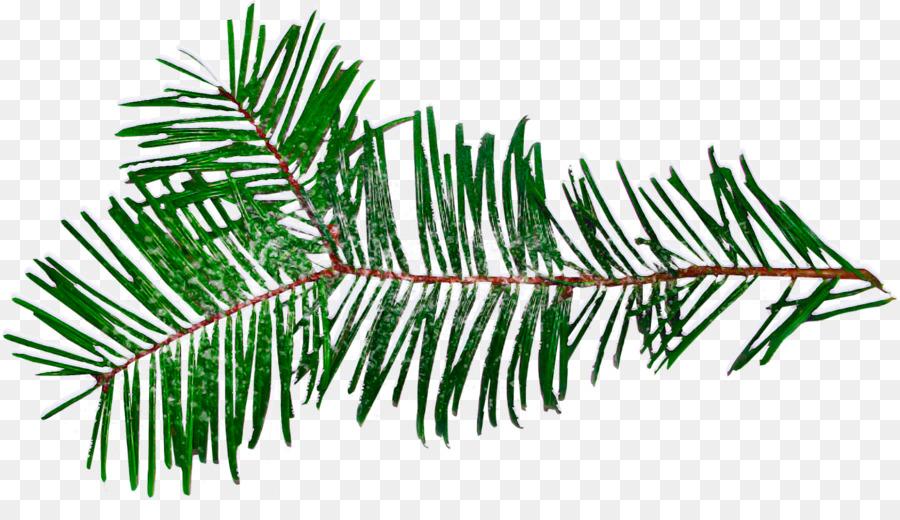 Descarga gratuita de El Abeto Balsámico, árbol, Jack Pine Imágen de Png