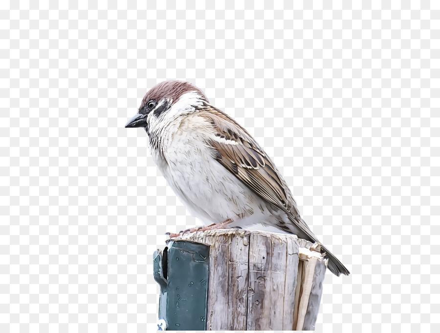Descarga gratuita de Aves, Gorrión, Pico imágenes PNG