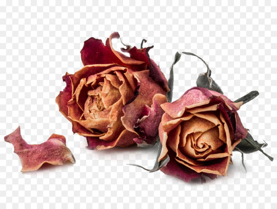 Descarga gratuita de Las Rosas De Jardín, Rosa, Flor Imágen de Png
