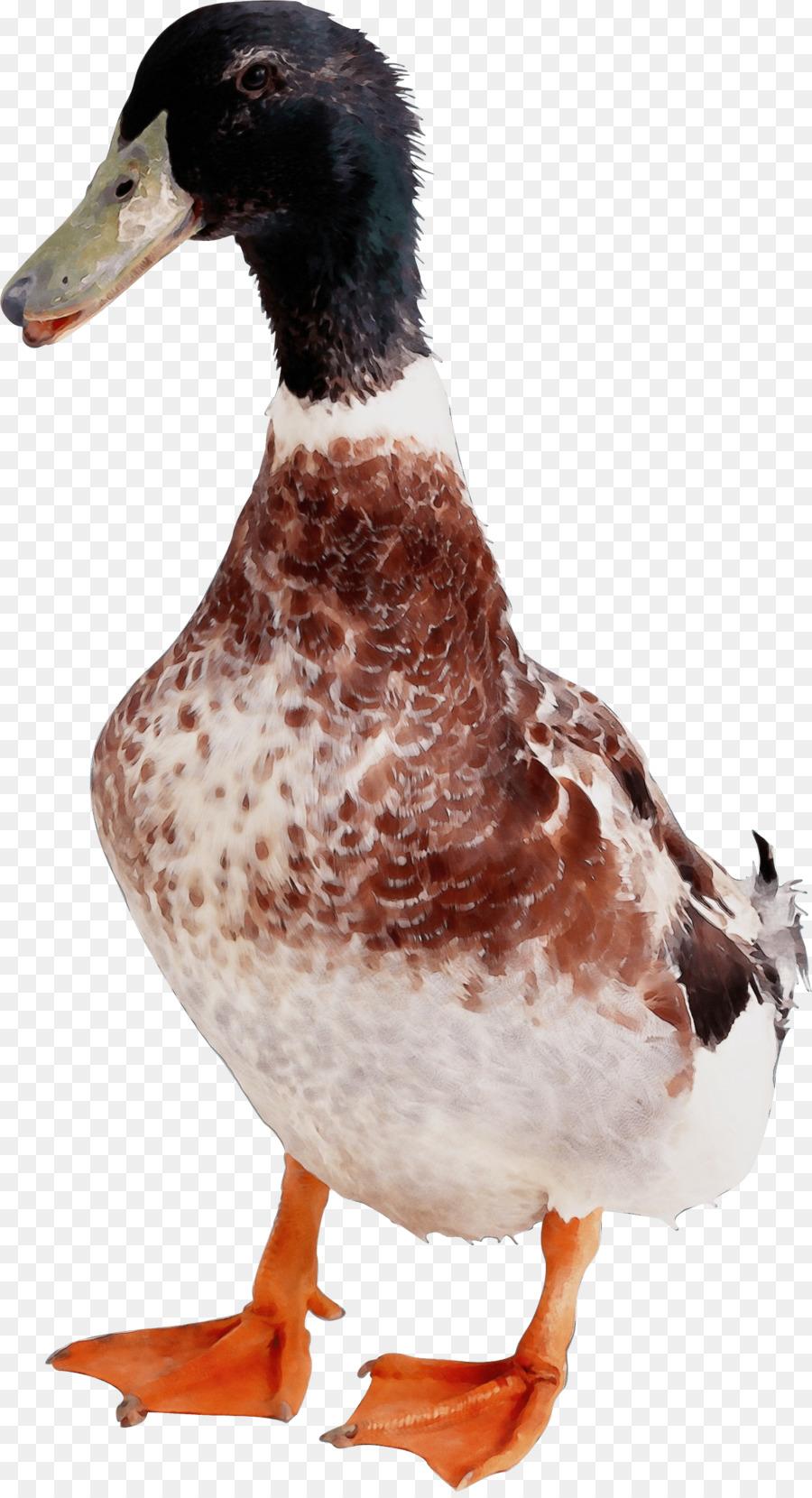 Descarga gratuita de Aves, Pato, El Agua De Las Aves Imágen de Png