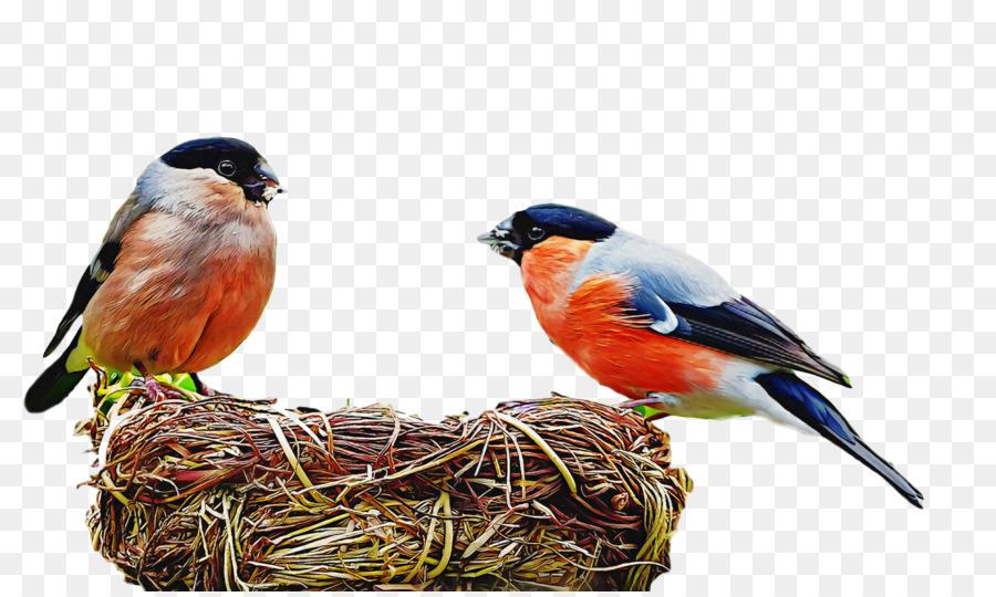 Descarga gratuita de Los Pinzones, Frailecillo Atlántico, Aves Imágen de Png