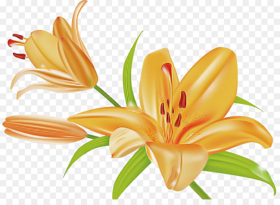 Descarga gratuita de Madonna Lily, Naranja Hemerocalis, Naranja Lily Imágen de Png
