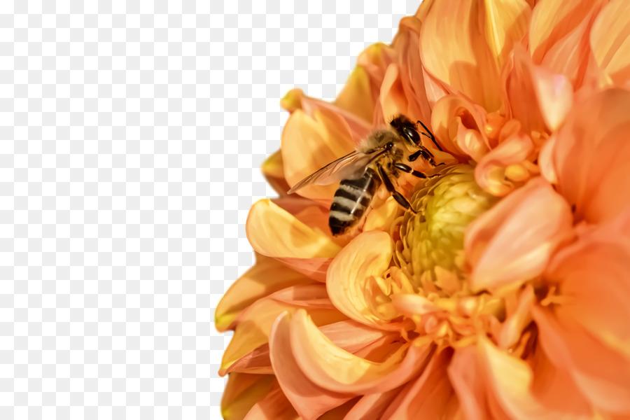 Descarga gratuita de La Miel De Abeja, Dalia, Jardín De Flores Imágen de Png