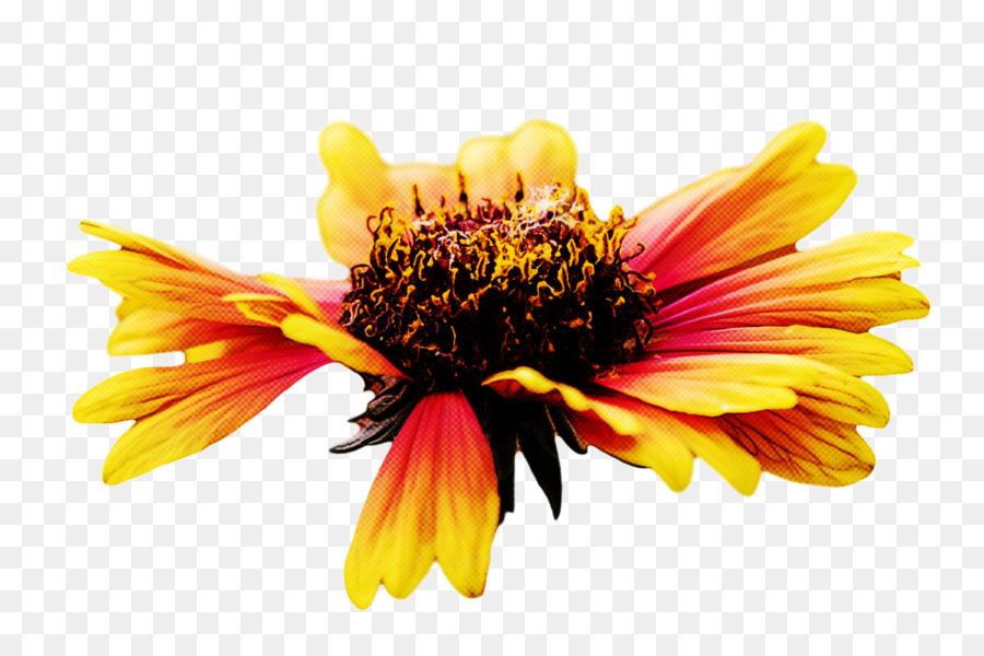 Descarga gratuita de Manta De Flores, La Semilla De Girasol, Crisantemo Imágen de Png