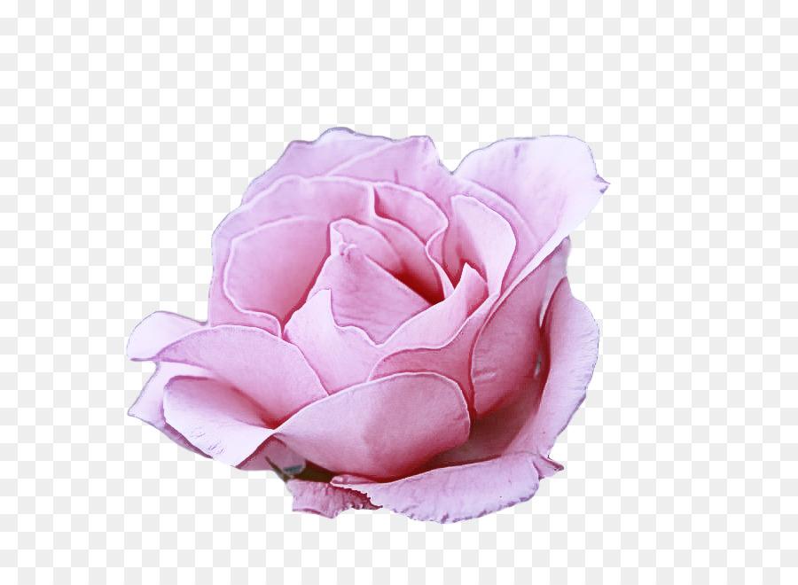 Descarga gratuita de Las Rosas De Jardín, Las Flores Cortadas, Col Rosa Imágen de Png