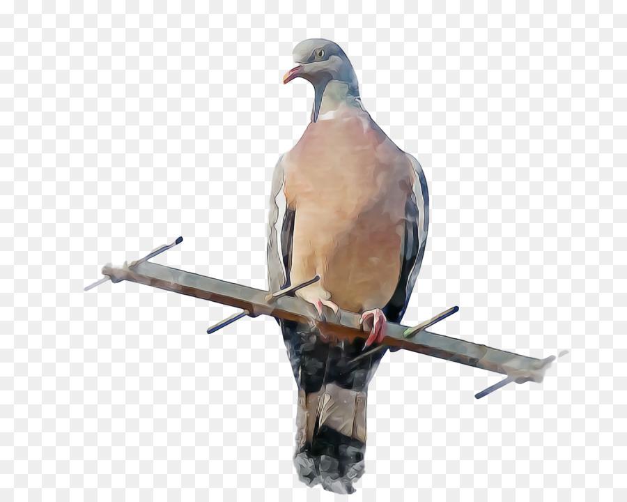 Descarga gratuita de Columbidae, Stock Paloma, Aves Imágen de Png