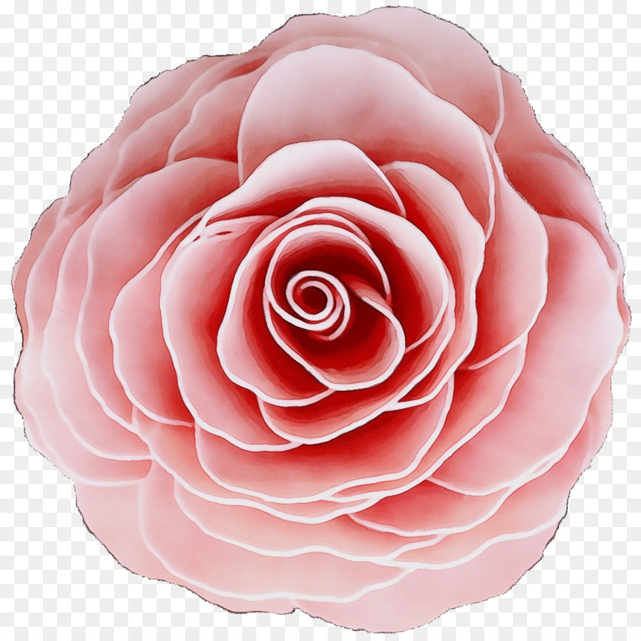 Descarga gratuita de Las Rosas De Jardín, Col Rosa, Familia De Las Rosas Imágen de Png