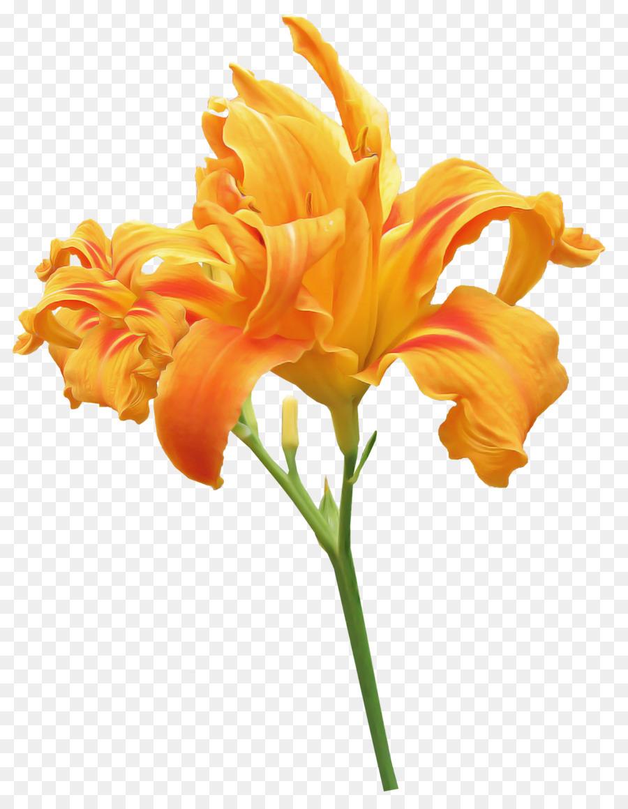 Descarga gratuita de Naranja Hemerocalis, Naranja Lily, Tallo De La Planta Imágen de Png