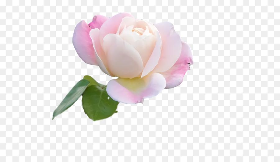 Descarga gratuita de Las Rosas De Jardín, Las Flores Cortadas, Familia De Las Rosas Imágen de Png
