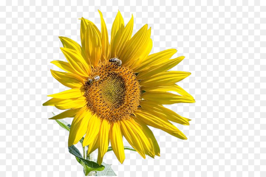 Descarga gratuita de Daisy Familia, La Semilla De Girasol, Flor Imágen de Png