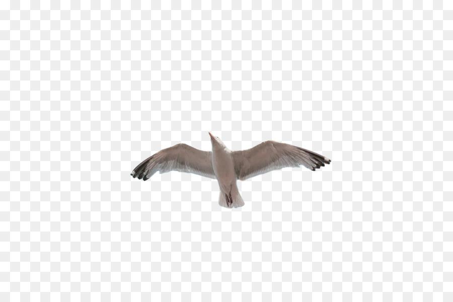 Descarga gratuita de De Aves Marinas, Pico, Aves Imágen de Png