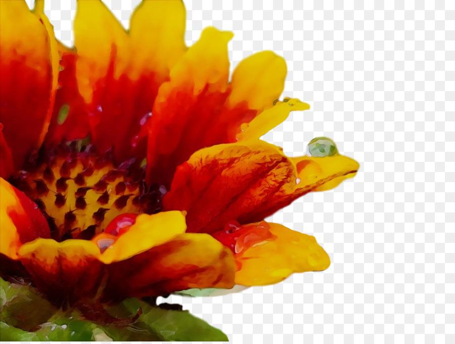 Descarga gratuita de Crisantemo, Transvaal Daisy, El Polen Imágen de Png