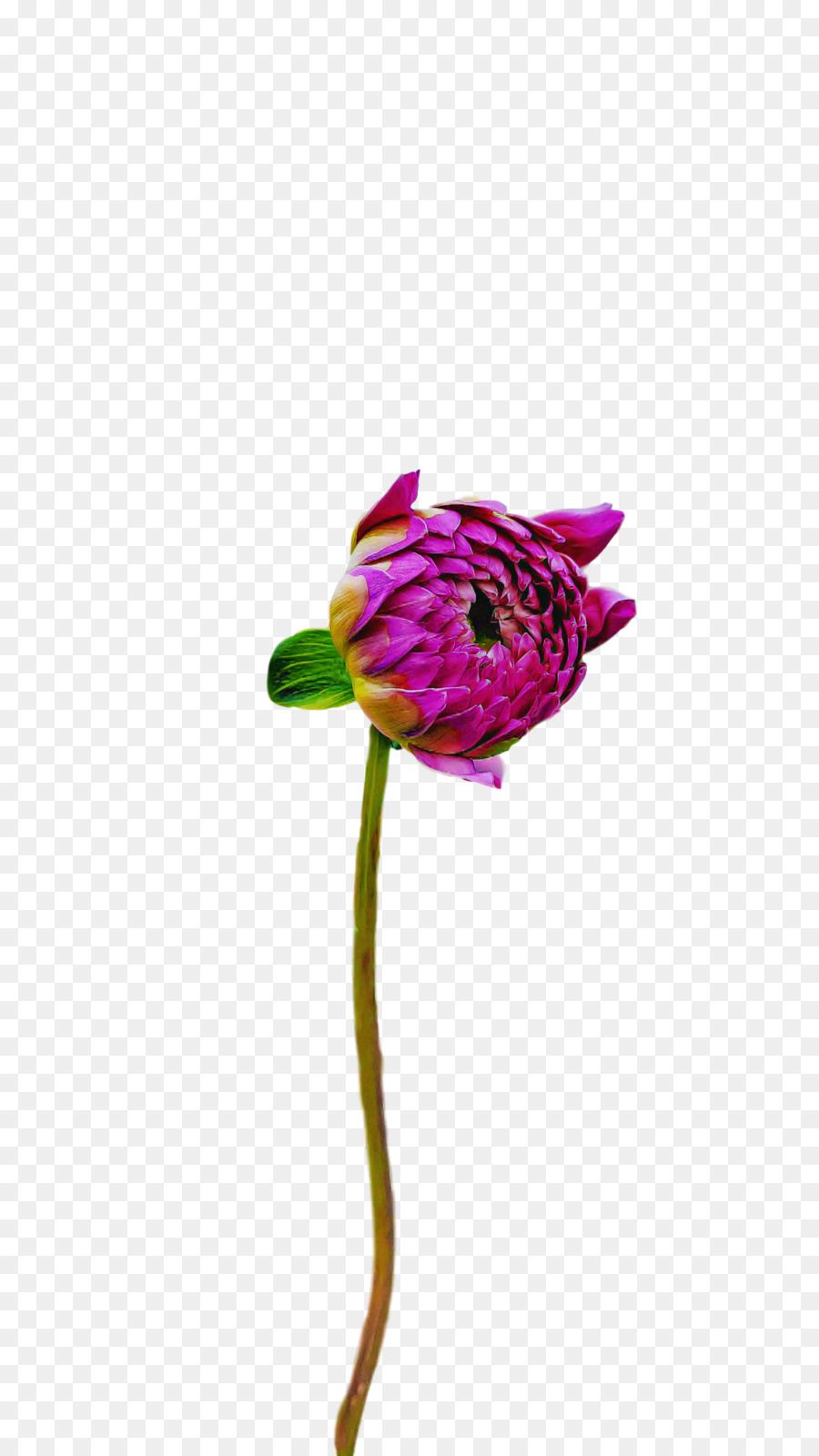 Descarga gratuita de Tallo De La Planta, Las Flores Cortadas, Las Rosas De Jardín Imágen de Png