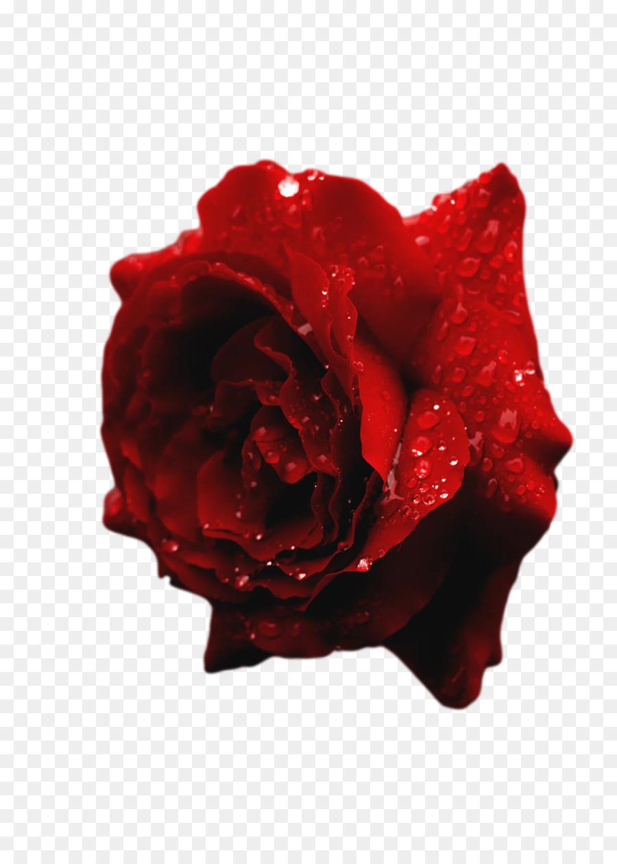 Descarga gratuita de Las Rosas De Jardín, Las Flores Cortadas, Rosa Imágen de Png